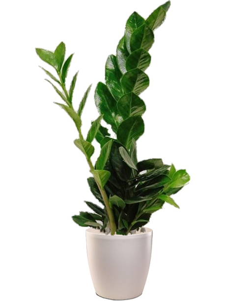 Ζαμιοκούλκα φυτό - 30€