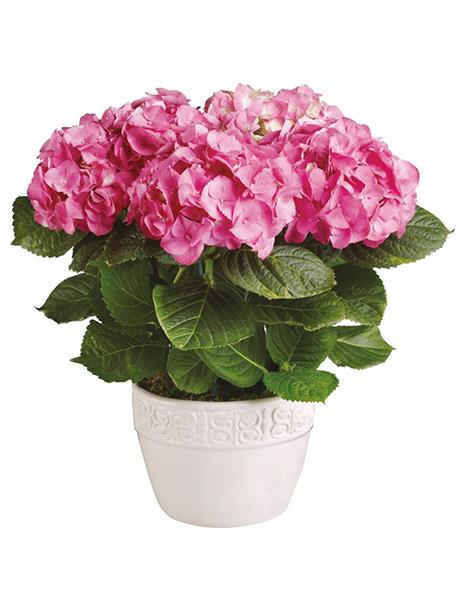 Ορτανσία ροζ