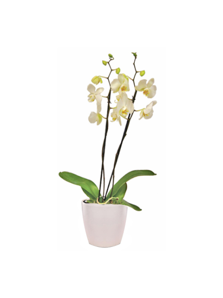 Λευκή ορχιδέα Φαλαίνοψις - 45€