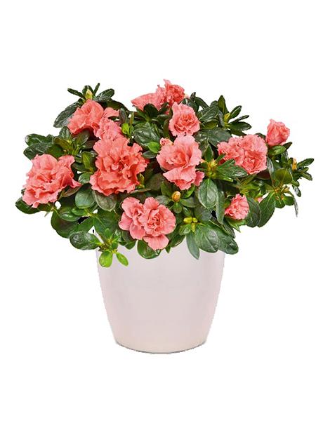 Αζαλέα  ροζ - 25€