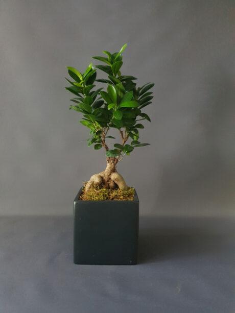 Bonsai Φίκος Ginseng - 35€