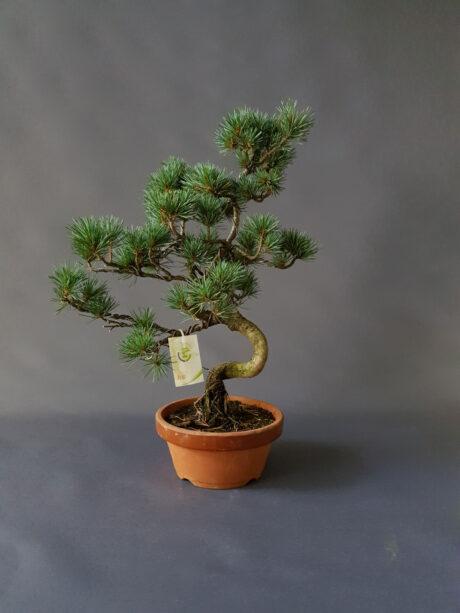 Bonsai Pinus - 200€