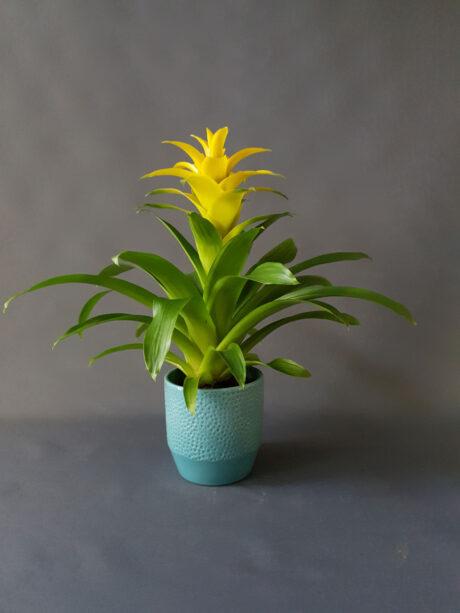 Γκουσμάνια Κίτρινη - 30€